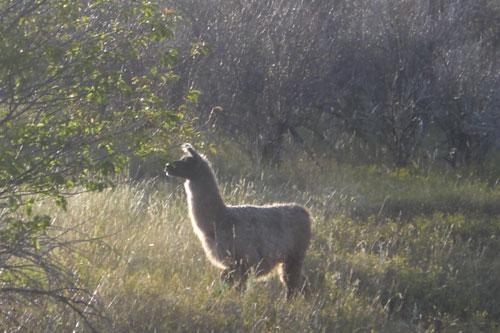 Llamas in North America