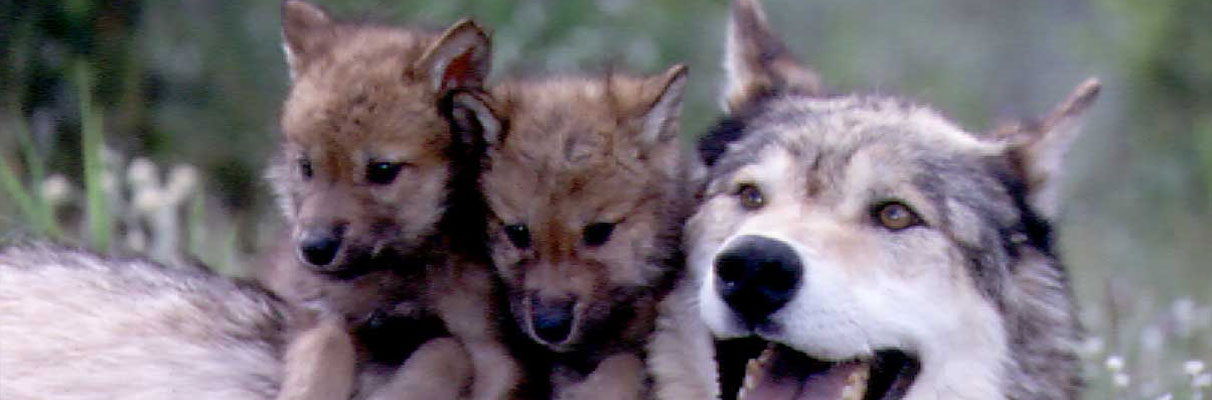 Wolf-and-pups