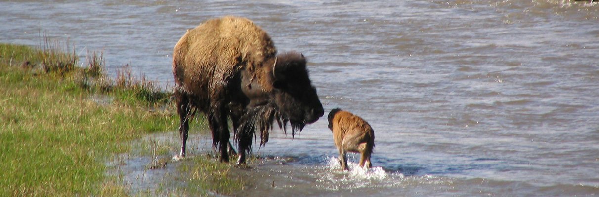Bison-Cow-and-calf
