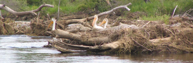 RIVER---Pelicans
