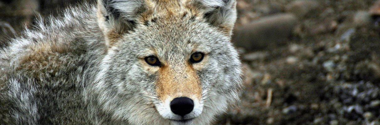 Coyote-Danny-Nestor-1